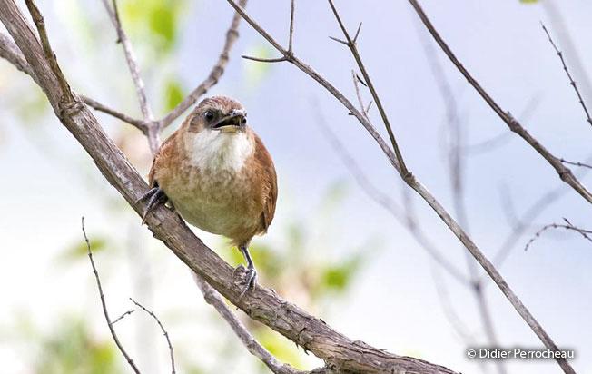 chestnut-backed_thornbird