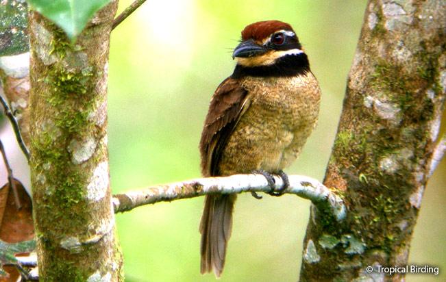 chestnut-capped_puffbird