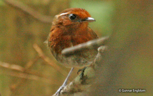 chestnut-crowned-gnateater