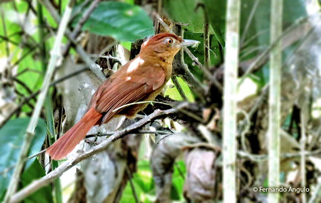 chestnut-crowned_foliage-gleaner