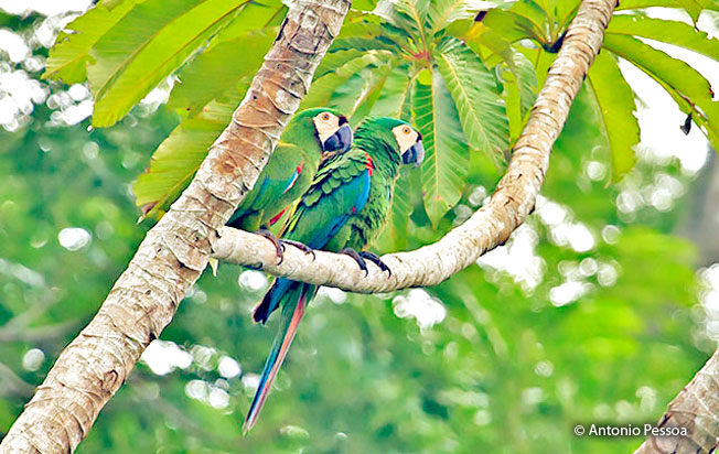 chestnut-fronted-macaw