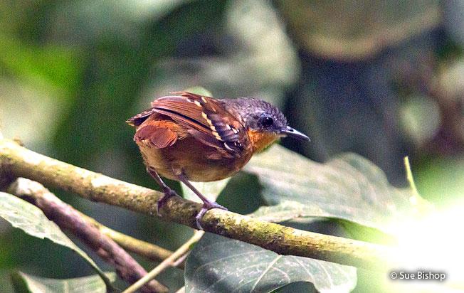 chestnut-tailed_antbird