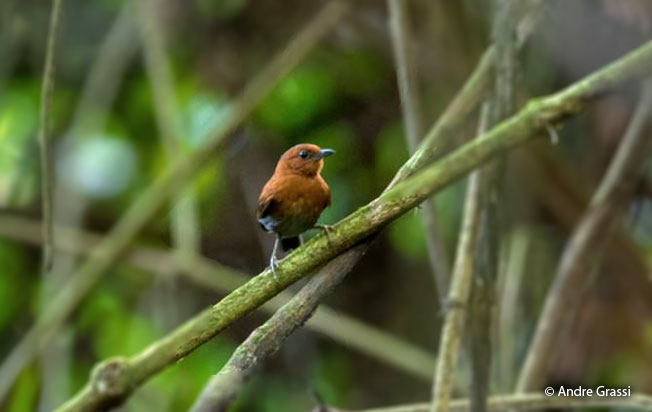 chestnut-throated_spinetail