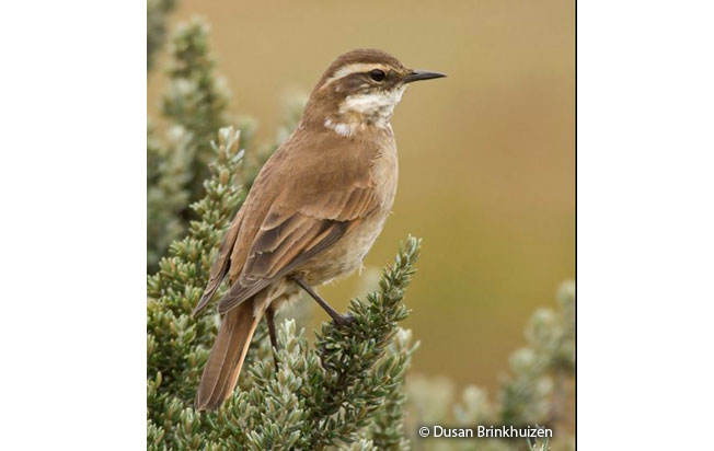 chestnut-winged_cinclodes