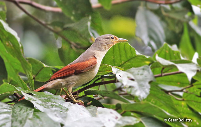 chestnut-winged_foliage-gleaner