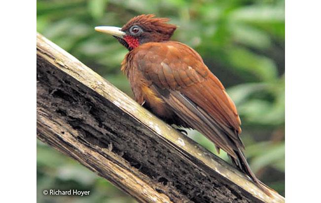 chestnut_woodpecker