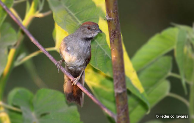cinereous-breasted_spinetail