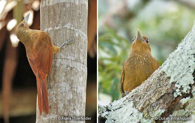 cinnamon-throated_woodcreeper