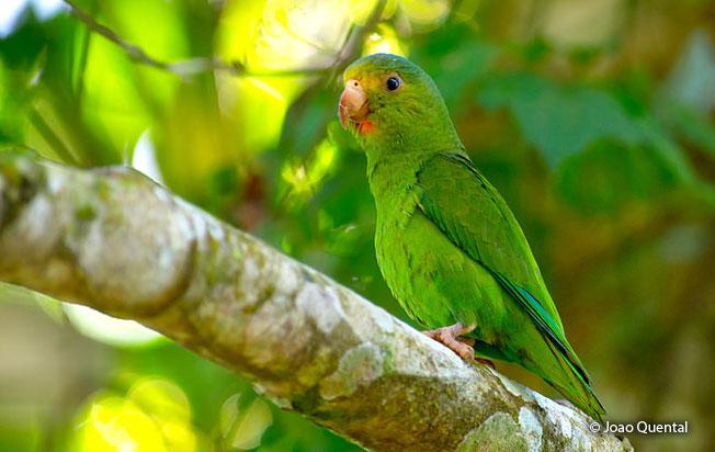 cobalt-winged_parakeet