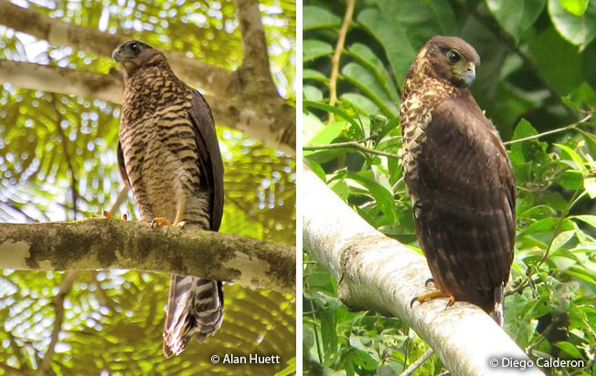 collared_forest-falcon