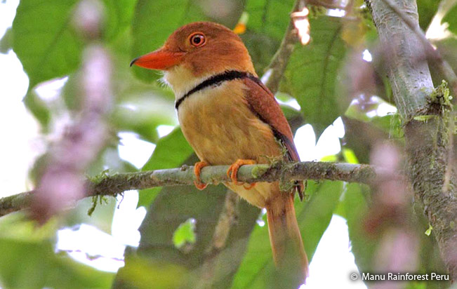 collared_puffbird