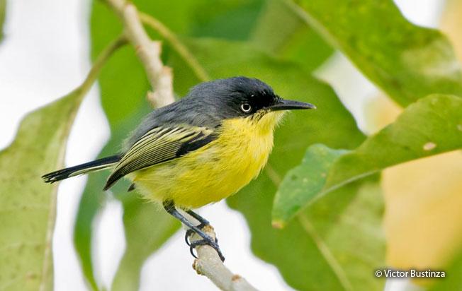 common_tody-flycatcher