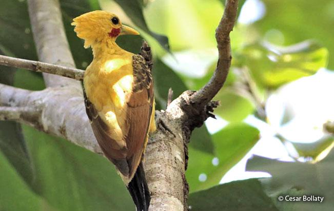 cream-colored-woodpecker