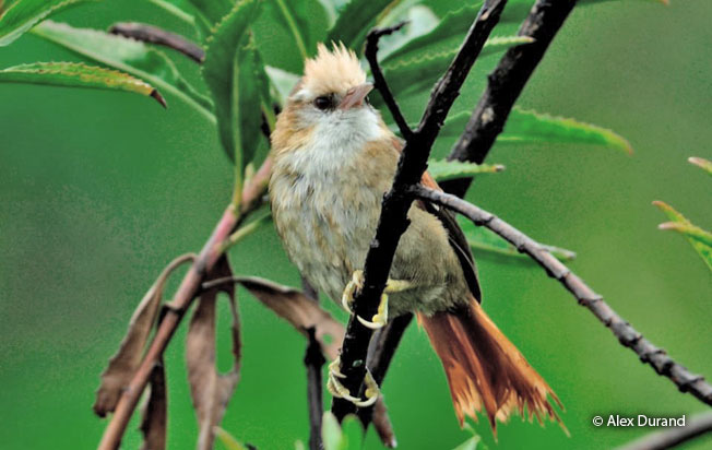 creamy-crested_spinetail