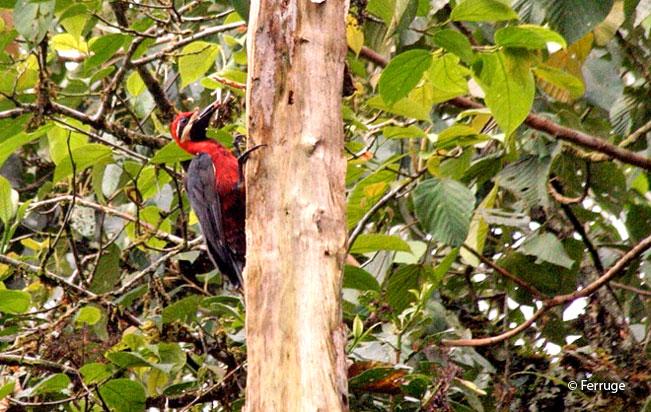 crimson-bellied_woodpecker