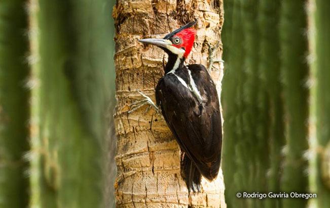 crimson-crested_woodpecker