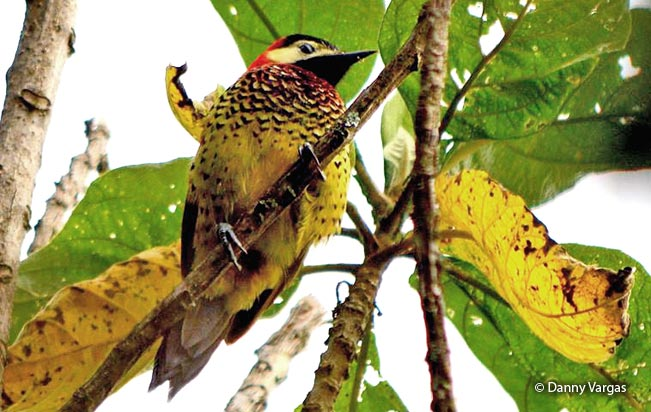 crimson-mantled_woodpecker