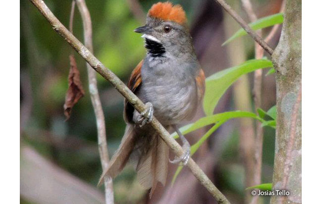 dark-breasted_spinetail