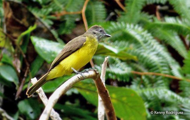 dusky-chested-flycatcher