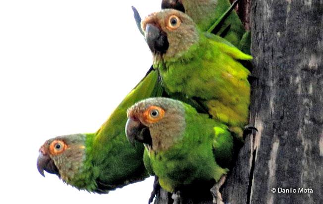 dusky-headed_parakeet
