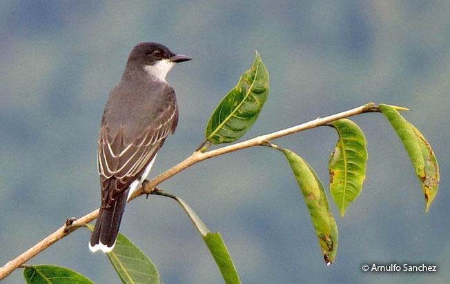 eastern_kingbird