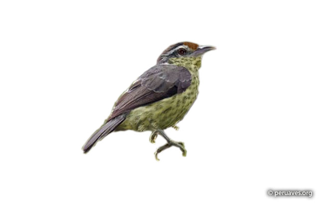 equatorial_graytail
