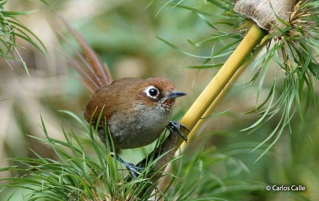 eye-ringed_thistletail
