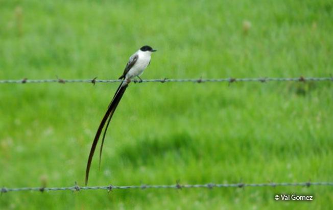fork-tailed_flycatcher