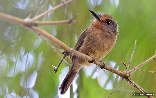 fulvous-chinned_nunlet