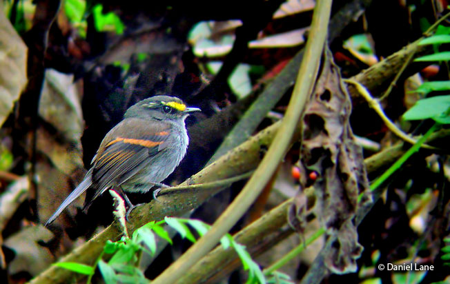 golden-browed_chat-tyrant