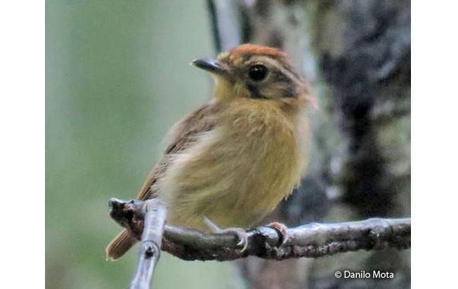 golden-crowned_spadebill