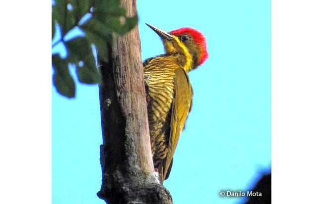 golden-green_woodpecker