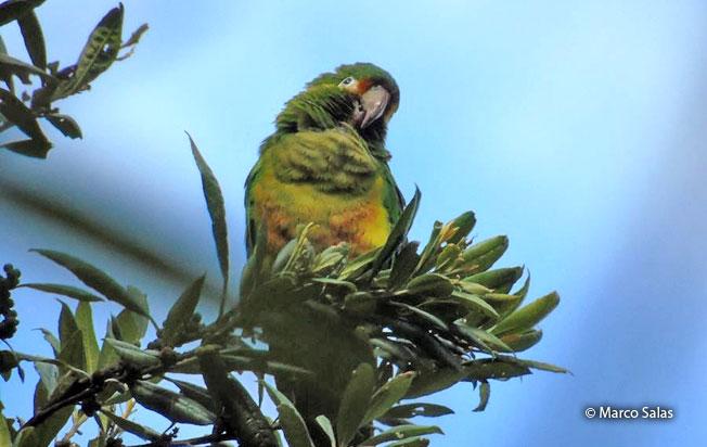 golden-plumed_parakeet