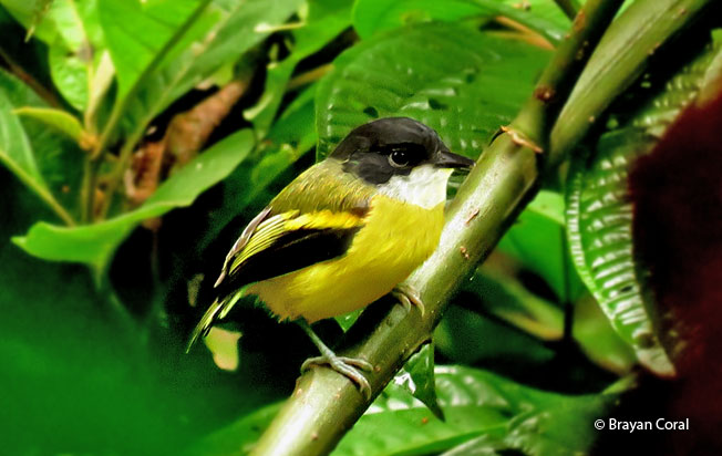 golden-winged_tody-flycatcher