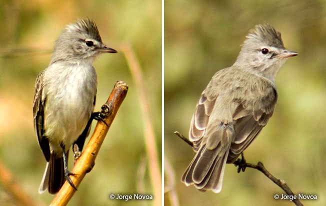 gray-and-white_tyrannulet