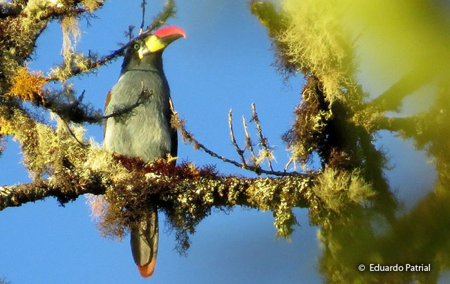 gray-breasted_mountain-toucan