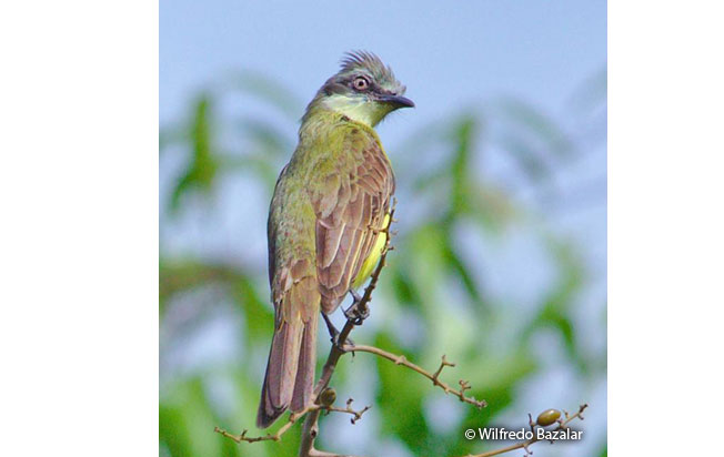 gray-capped_flycatcher