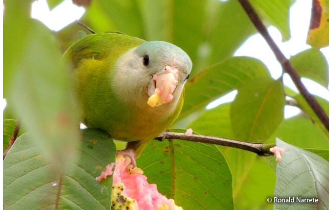 gray-cheeked_parakeet