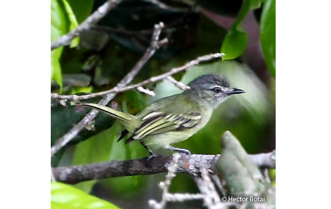 gray-crowned_flycatcher