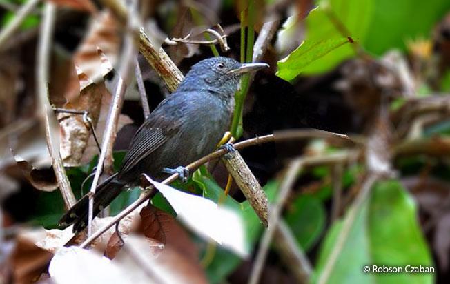 gray_antbird