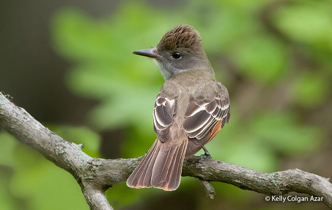 great-crested_flycatcher