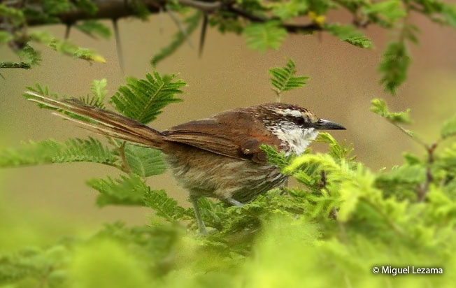 great_spinetail