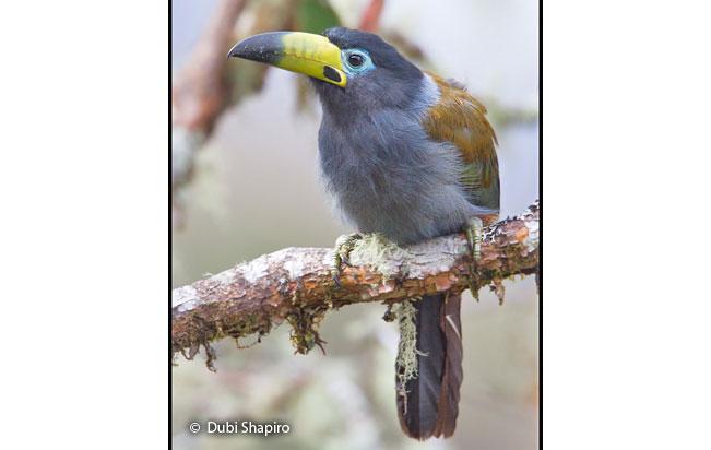hooded_mountain-toucan