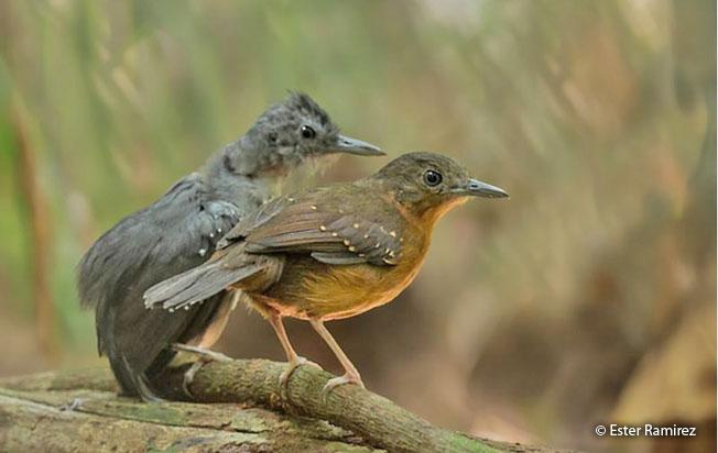 humaita_antbird