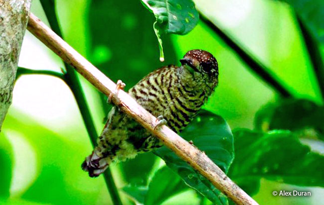lafresnayes_piculet