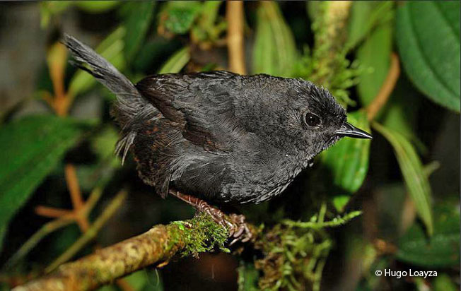 rufous-vented tapaculo