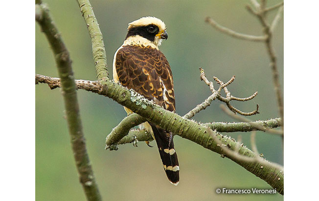 laughing_falcon