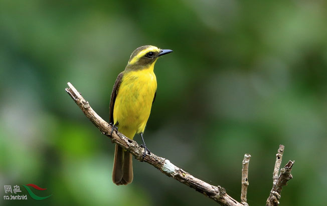 lemon-browed_flycatcher