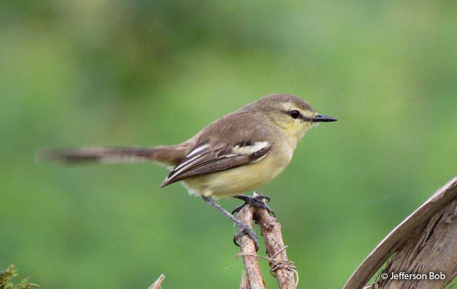 lesser_wagtail_tyant