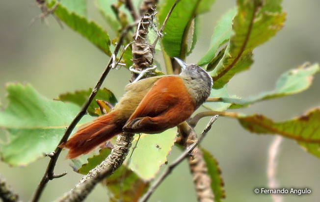 light-crowned_spinetail